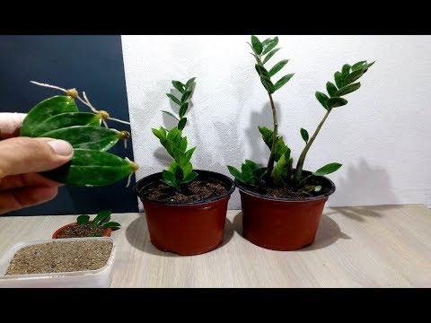 How to grow ZZ Plant from single Leaf very easy / Zanzibar Gem