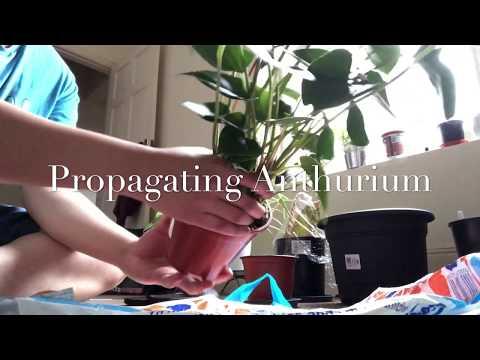 Propagating Anthurium