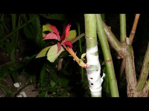 Kalemljenje ruža u proleće na čip nastavak video
