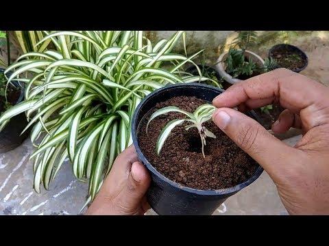 Spider Plant (chlorophytum Comosum) Propagation Method-1 By Gardengraduate