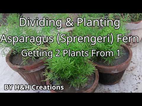 Dividing & Planting Asparagus Sprengeri Fern