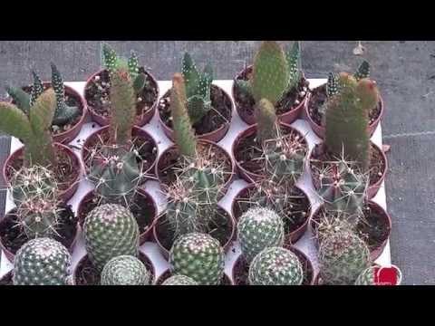 Sadnja i uzgoj kaktusa i sukulenata