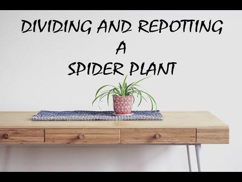 Spider Plant Separation