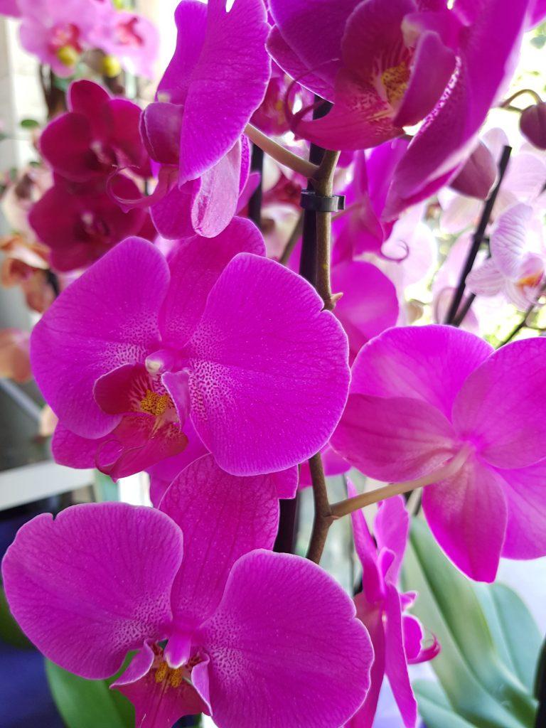 ljubičaste orhideje cvećara elite
