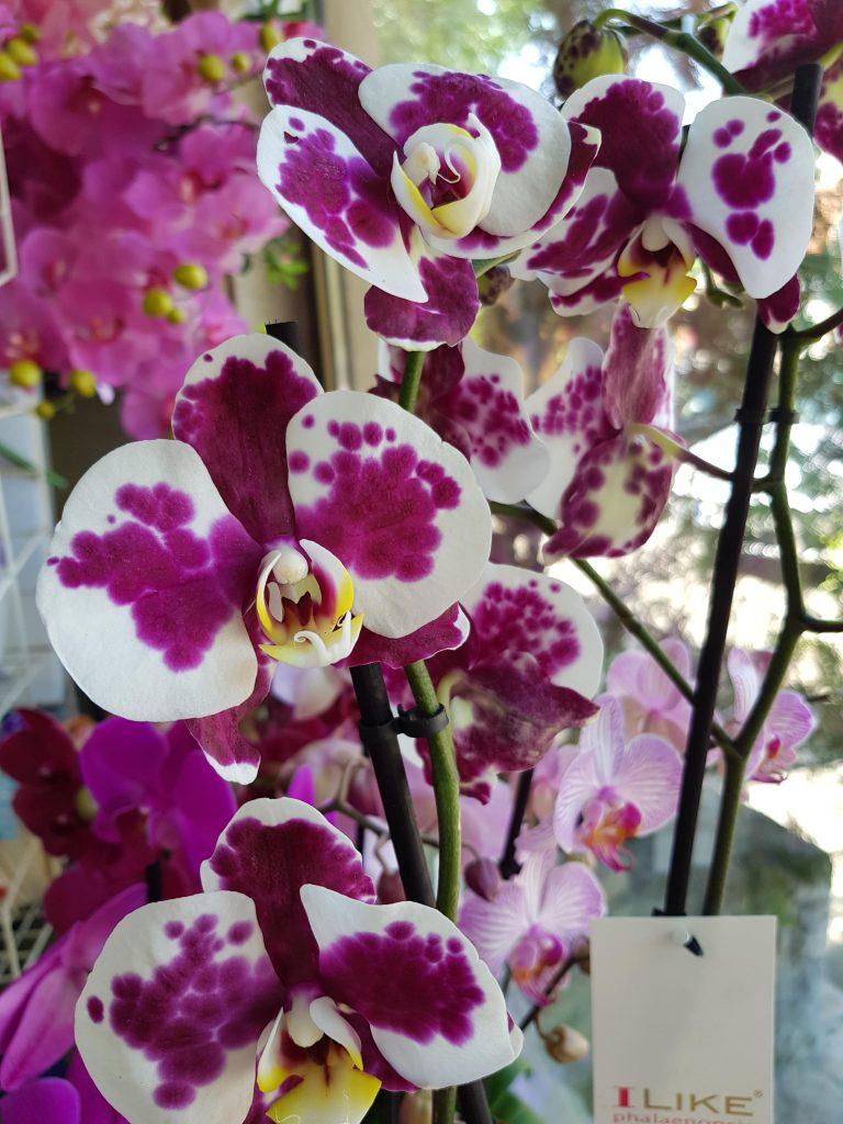 orhideje beograd