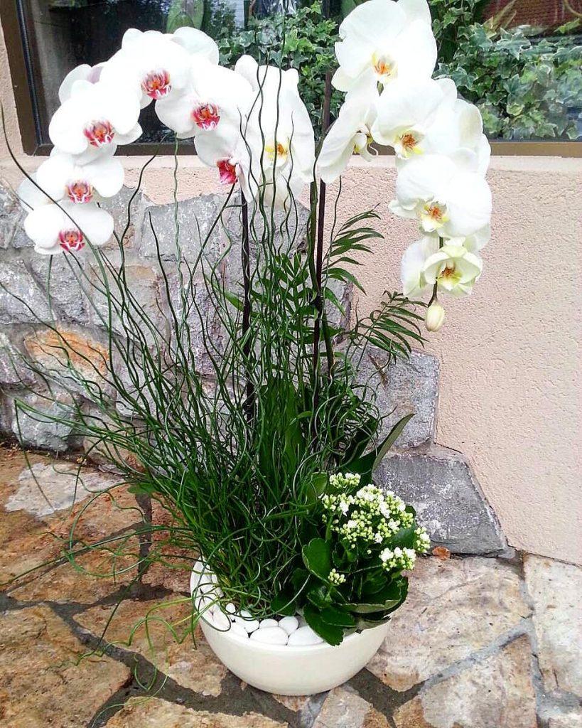 orhideje u saksiji beograd