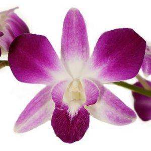 Dendrobium orhideja
