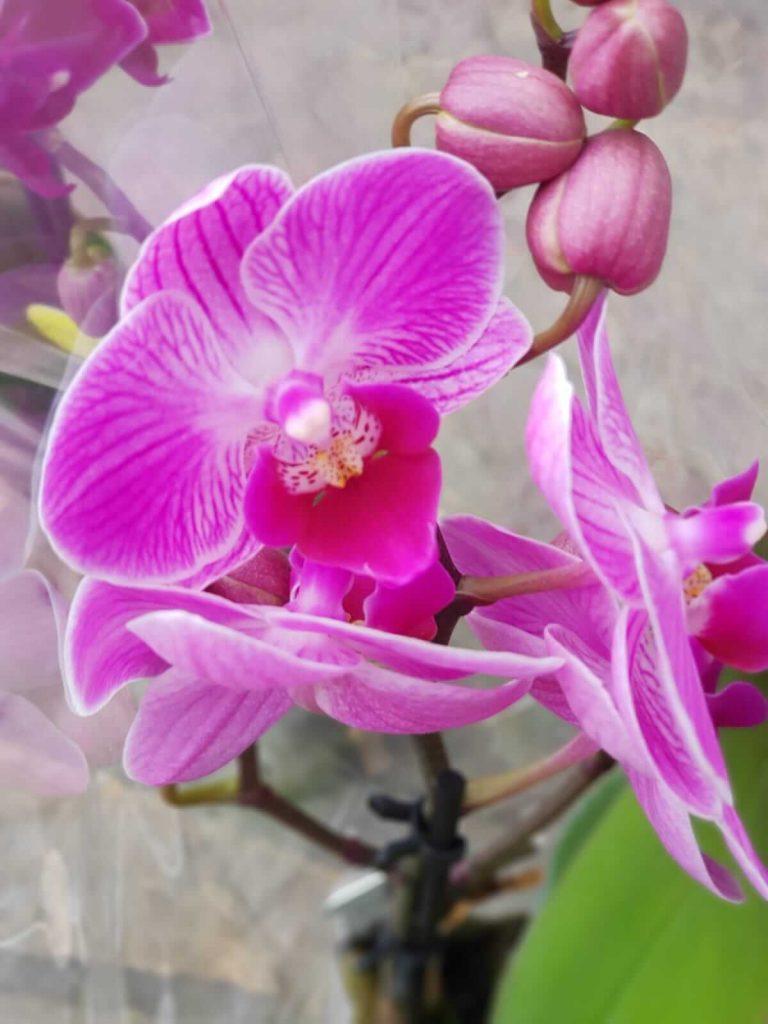 orhideje cvecara elite