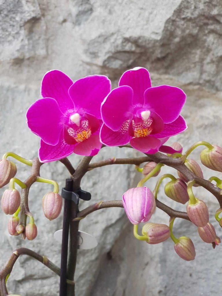 orhideje ciklama beograd