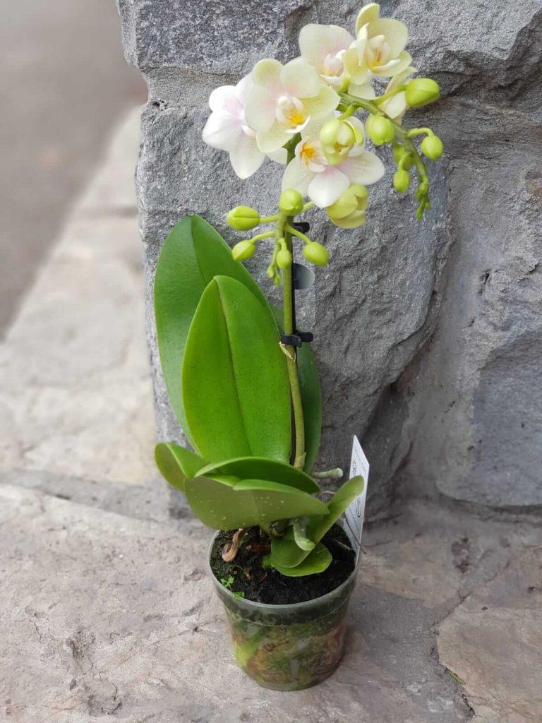 bebe orhideje zemun