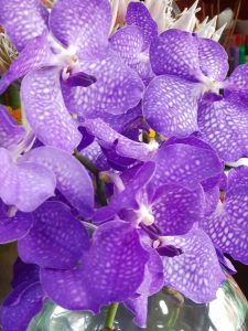 vanda orhideja