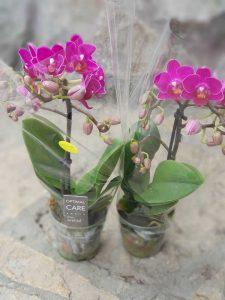 dve orhideje