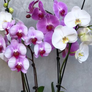 moljac orhideja