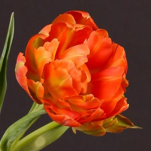 viking tulip