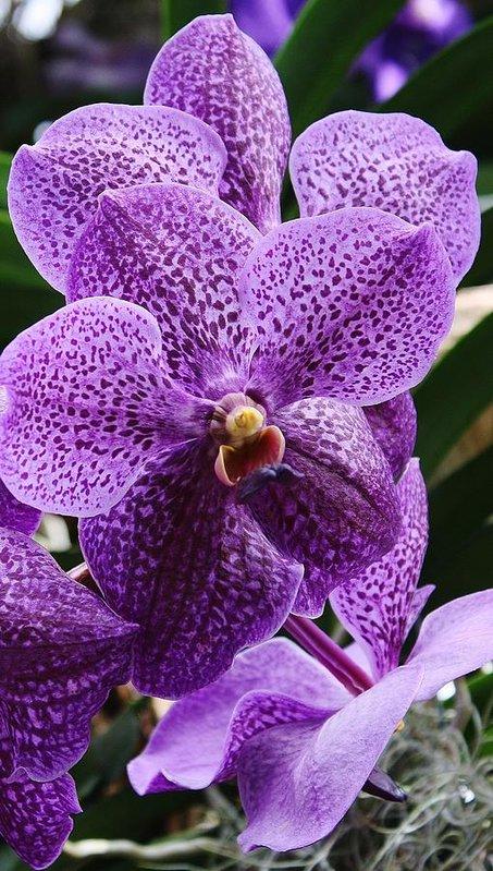 orhideja vanda cvecara elite beograd