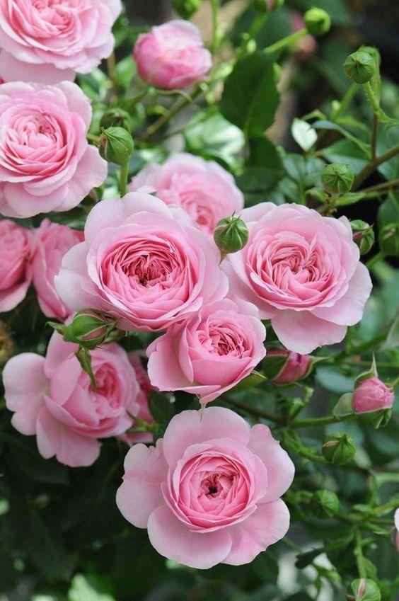 roze patuljaste ruze
