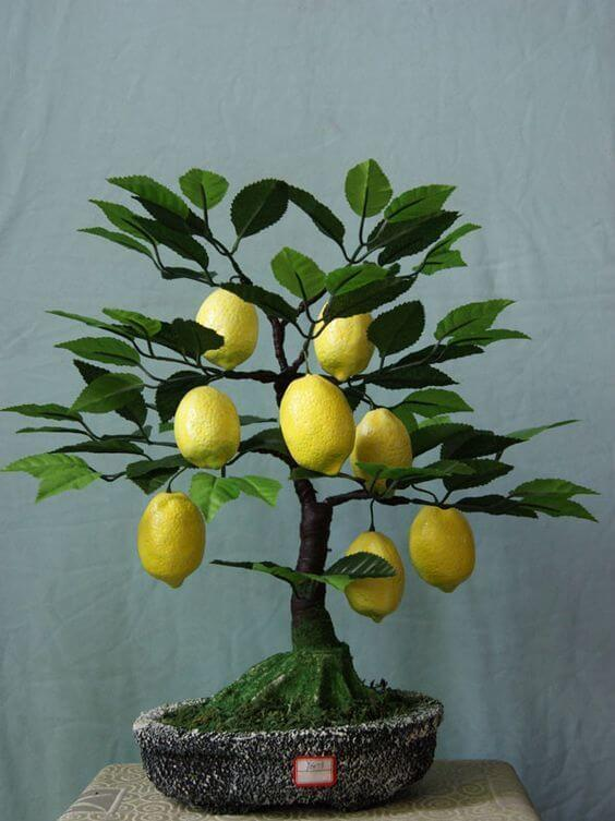 limun bonsai