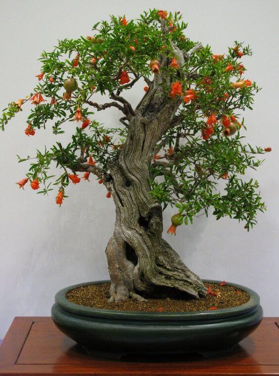 narandzasti bonsai
