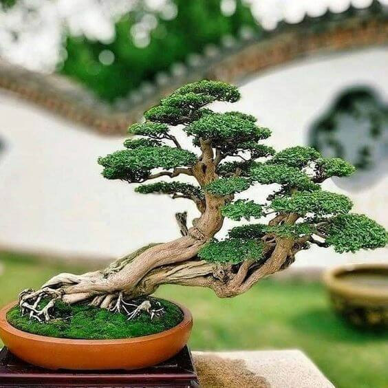 nakrivljeni bonsai