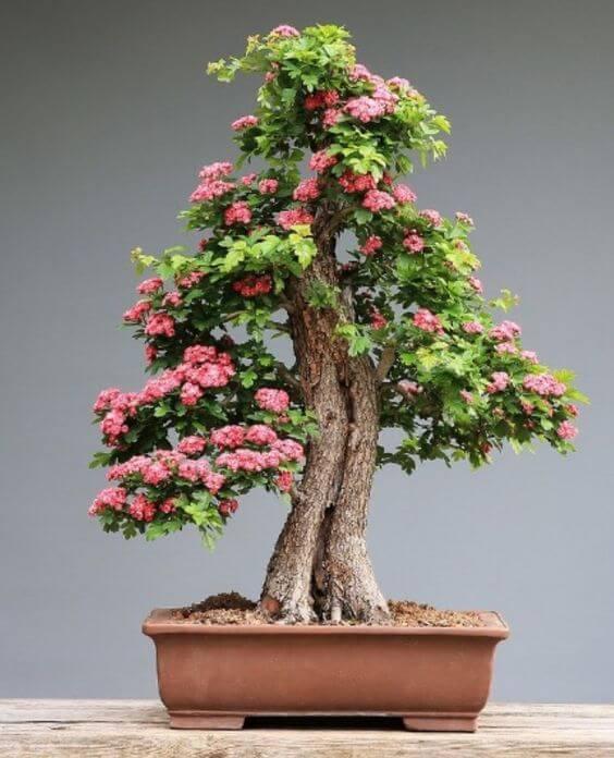 bonsai drvo cveta