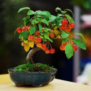 tresnja bonsai drvo