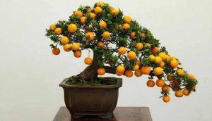 drvo narandze bonsai
