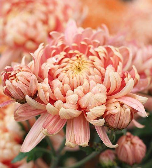 roze hrizantema