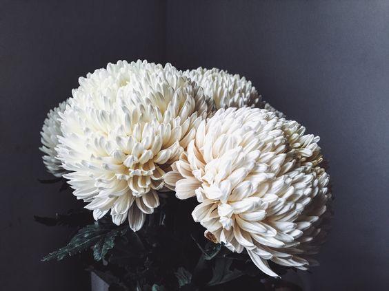 bela hrizantema