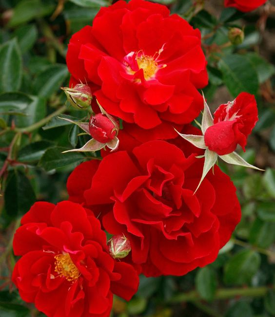 crvene minijaturne ruze