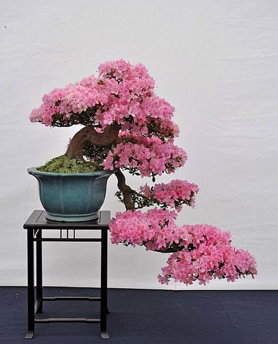 roze bonsai