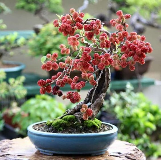 malina bonsai