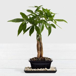 bonsai para