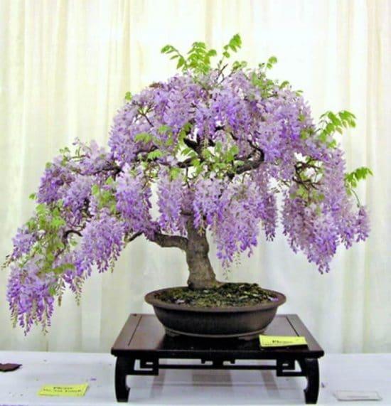 ljubicasti bonsai