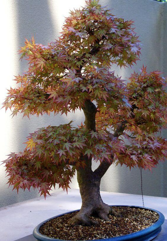 braon bonsai