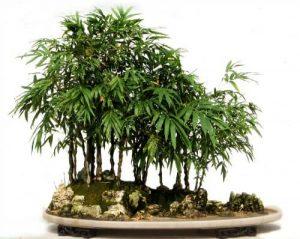 bambusovo bonsai drvo