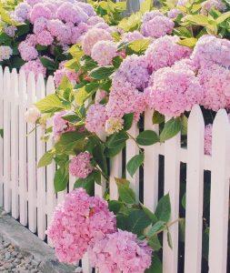 ruzicaste hortenzije u basti