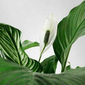 cannular spathiphyllum