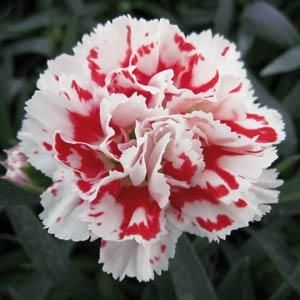 belo crveni cvet karanfila