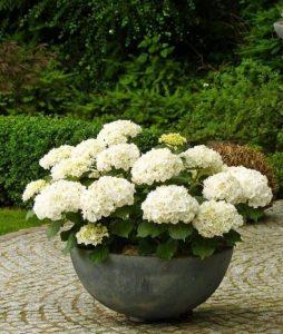 hortenzija u saksiji
