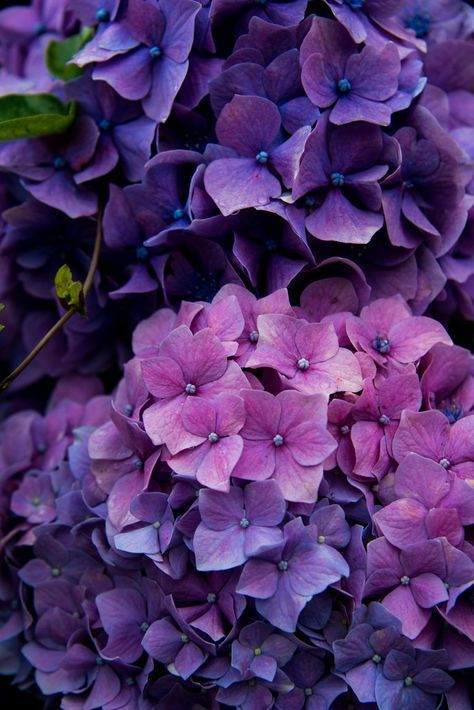 ljubicasta hortenzija