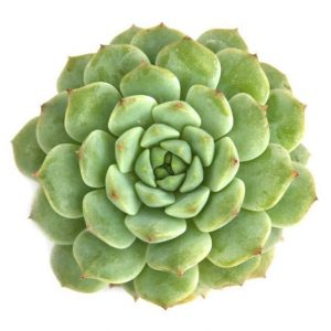 echeveria chris