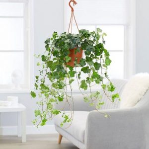 engleski bršljan sobno cvece koje preciscava vazduh