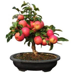 jabuka bonsai