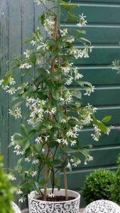 sobno cveće koje prečišćava vazuh - Jasmin