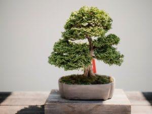 bonsai drvo