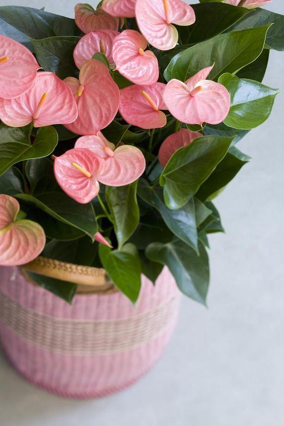 veliki roze anturijum