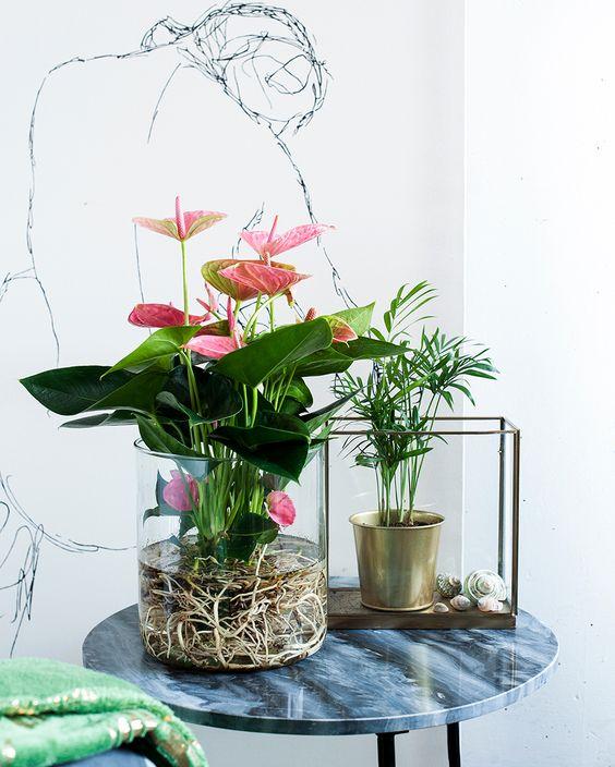 roze anturijum