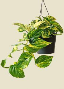 sobno cveće koje prečišćava vazuh zlatna puzavica