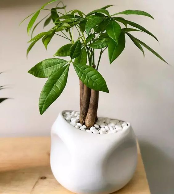 mala pahira bonsai
