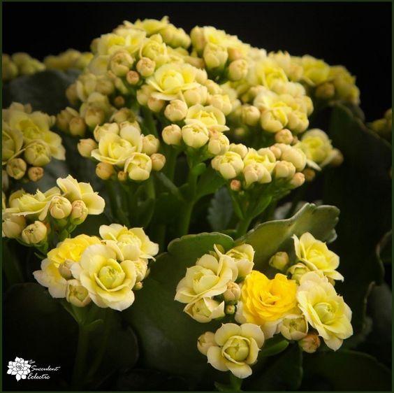 Kalanhoja Blossfeldiana